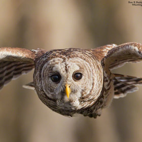 Defender - barred owl by Ron Bielefeld (RonBielefeld) on 500px.com